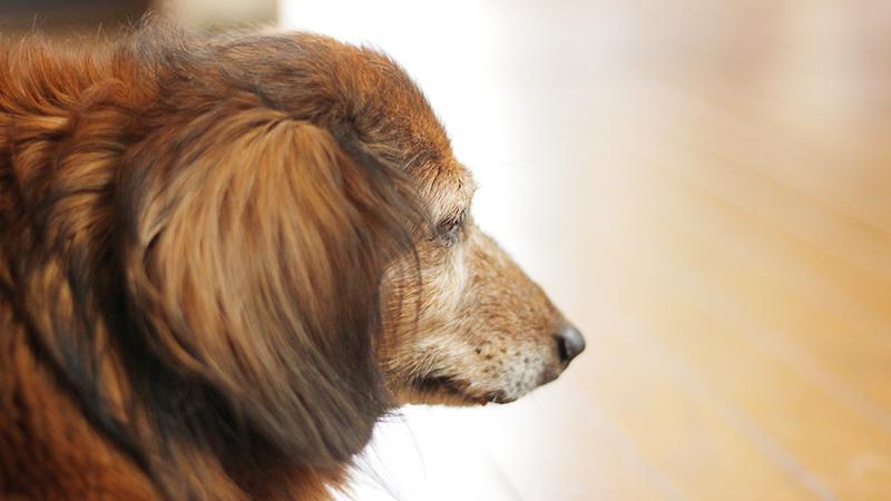 老犬の写真